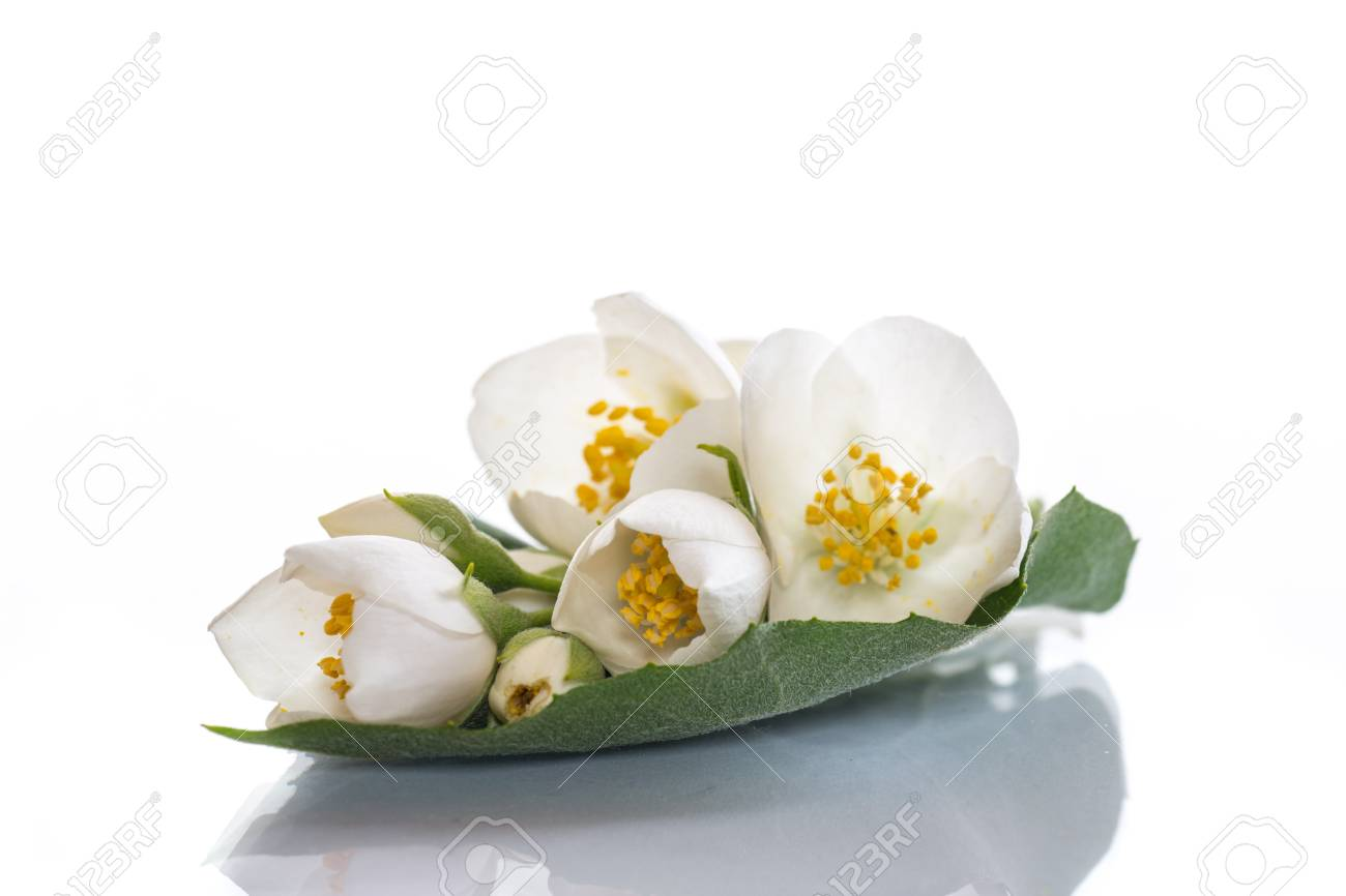 White flowers of jasmine on the white stock photo picture and stock photo white flowers of jasmine on the white izmirmasajfo