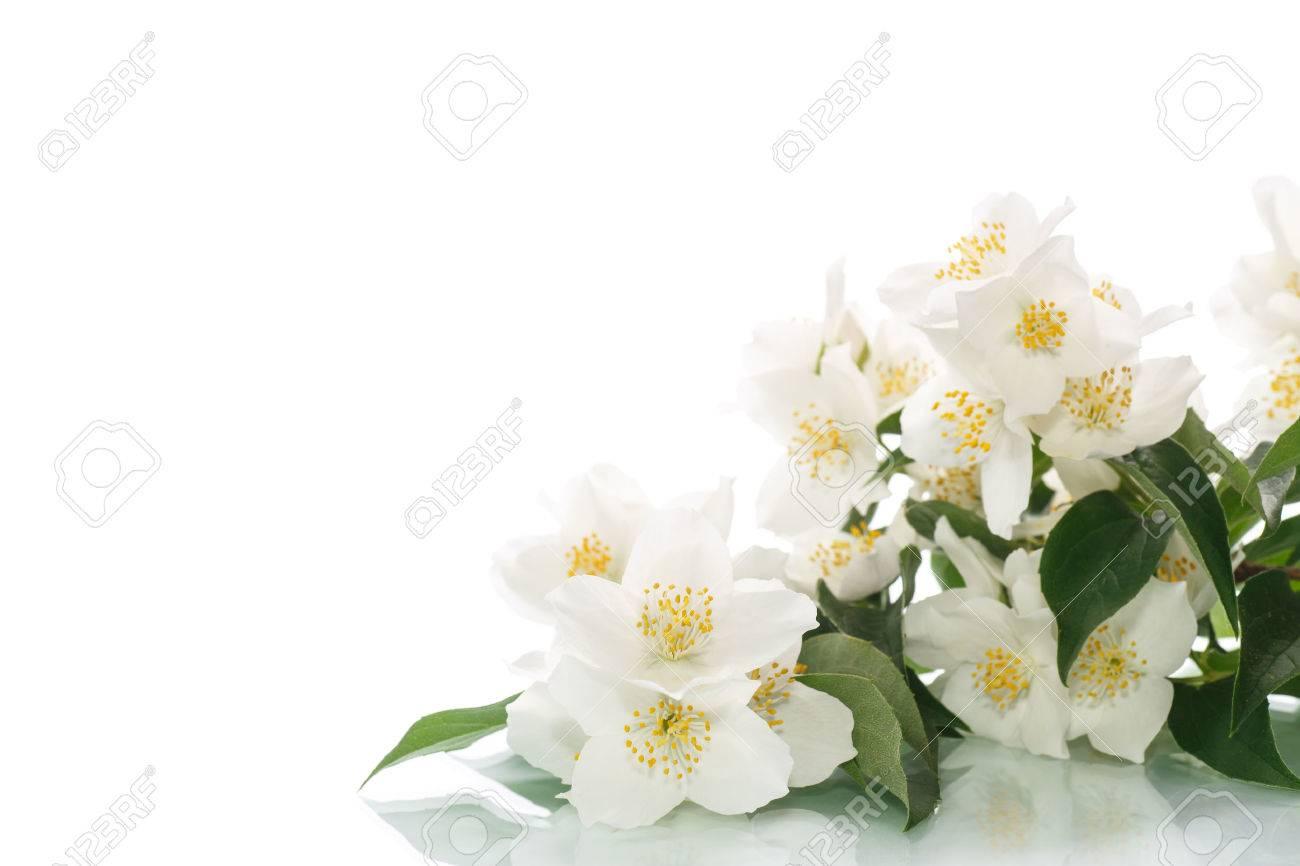 Jasmine white flower isolated on white background stock photo jasmine white flower isolated on white background stock photo 34623553 mightylinksfo