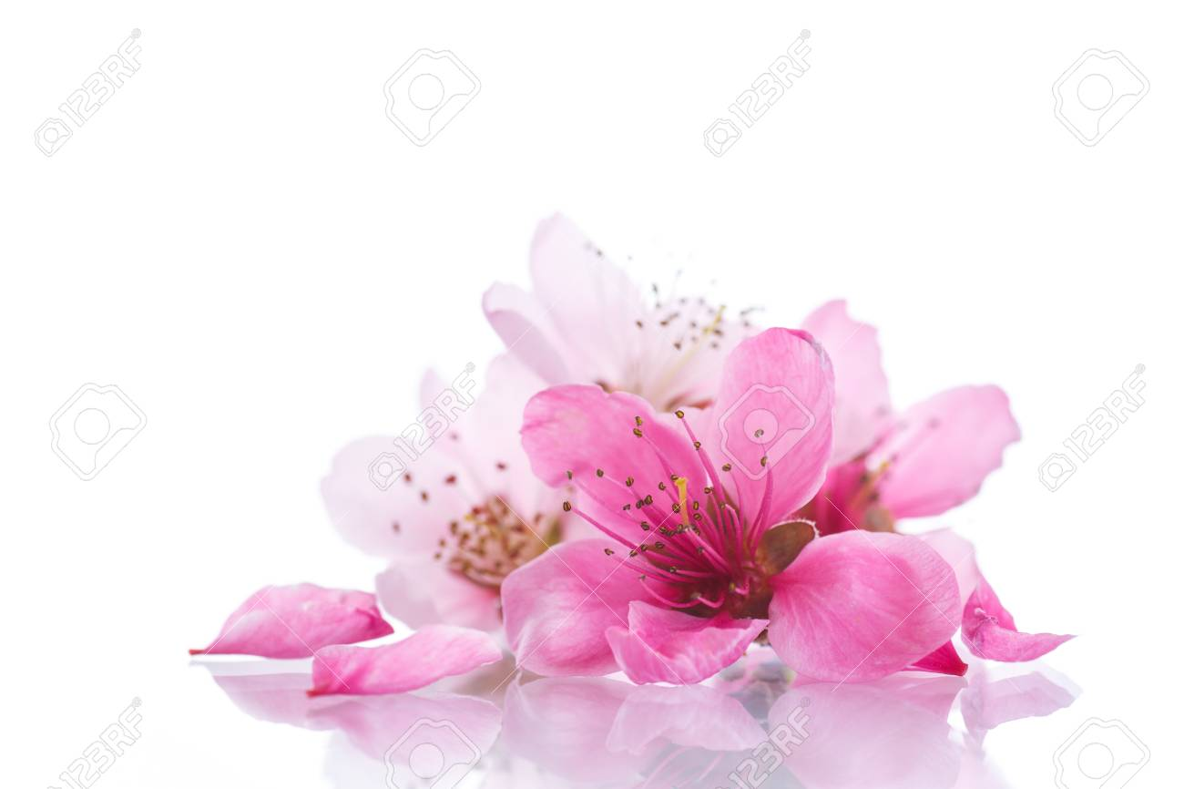 Peach Pink Flowers On A White Background Stock Photo Picture And