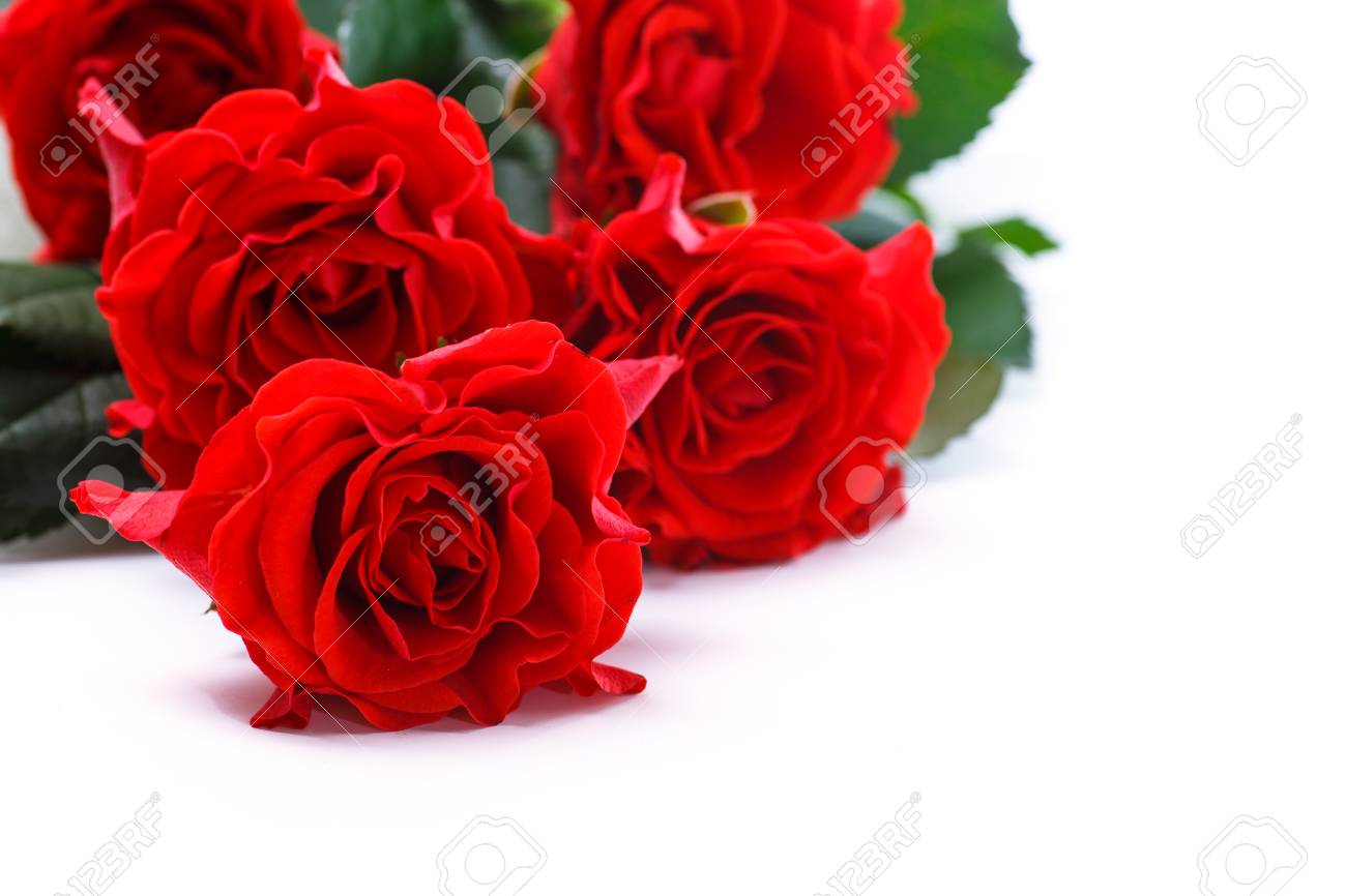 Beautiful red rose on a white background stock photo picture and beautiful red rose on a white background stock photo 63825786 izmirmasajfo