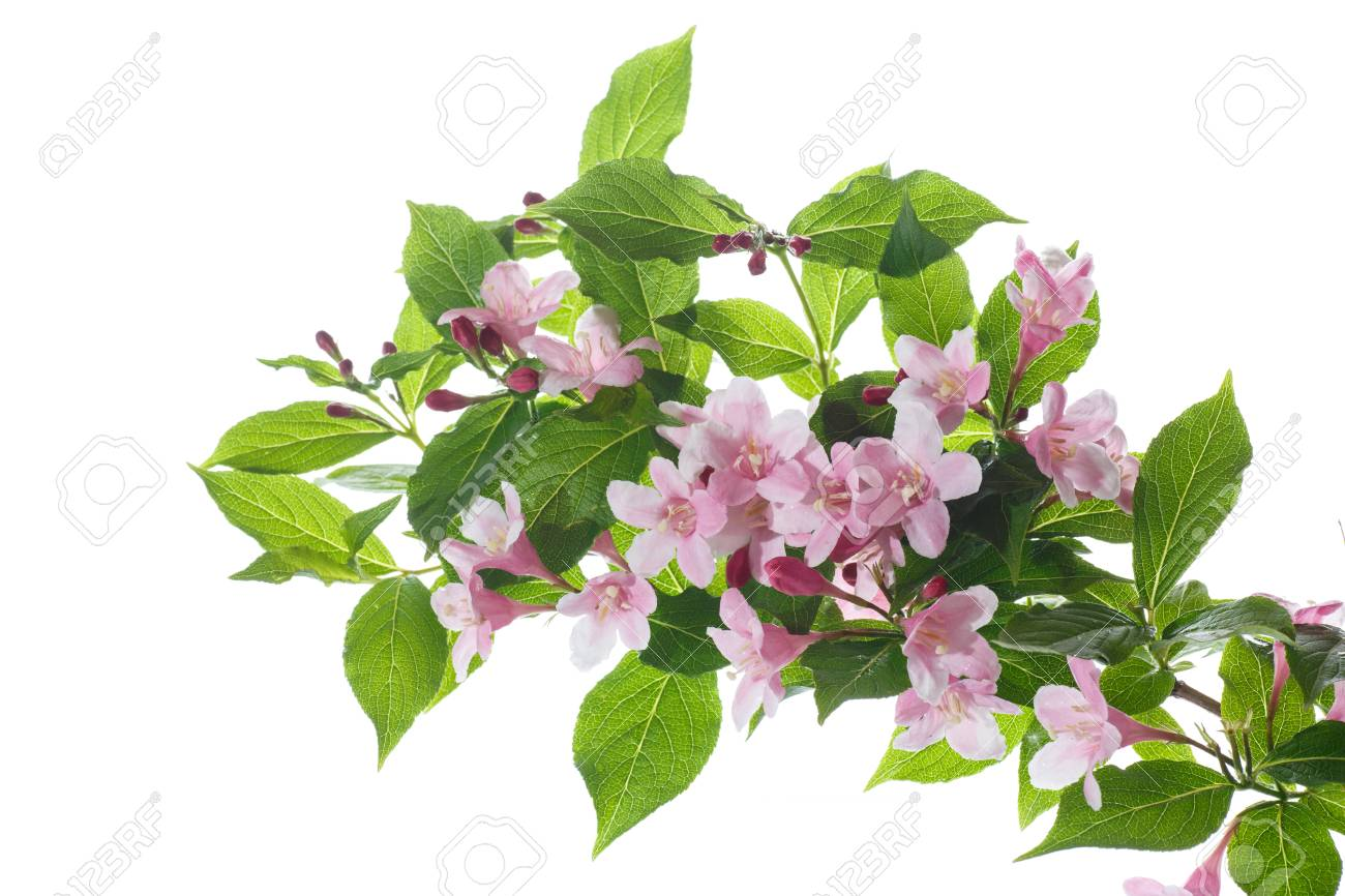 Beautiful Pink Flowers Weigela On A White Background Stock Photo