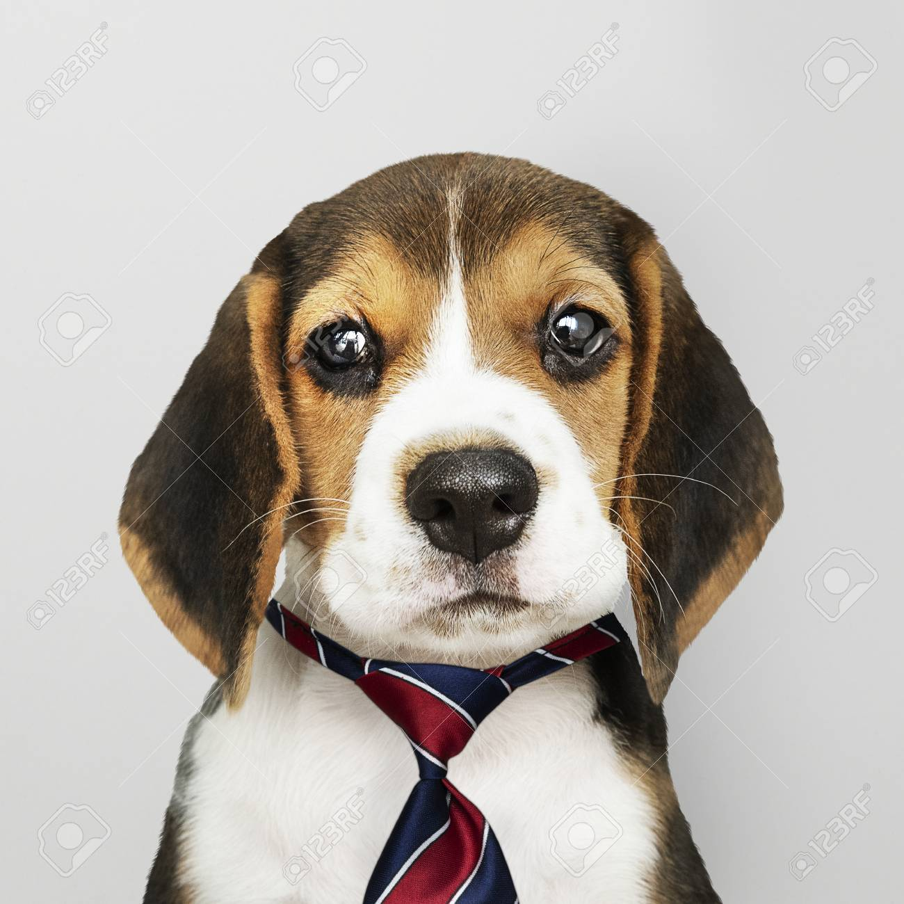 Cute Beagle Puppy In A Red Blue And White Striped Necktie Stock Photo Picture And Royalty Free Image Image 115871962