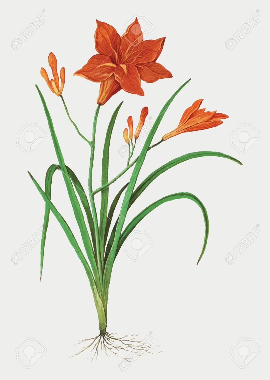 Orange Daylily Clip Art