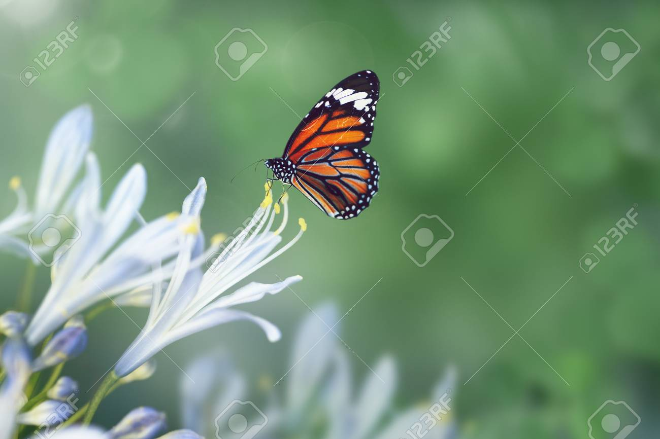 Monarch butterfly on an agapanthus stamen - 120343614