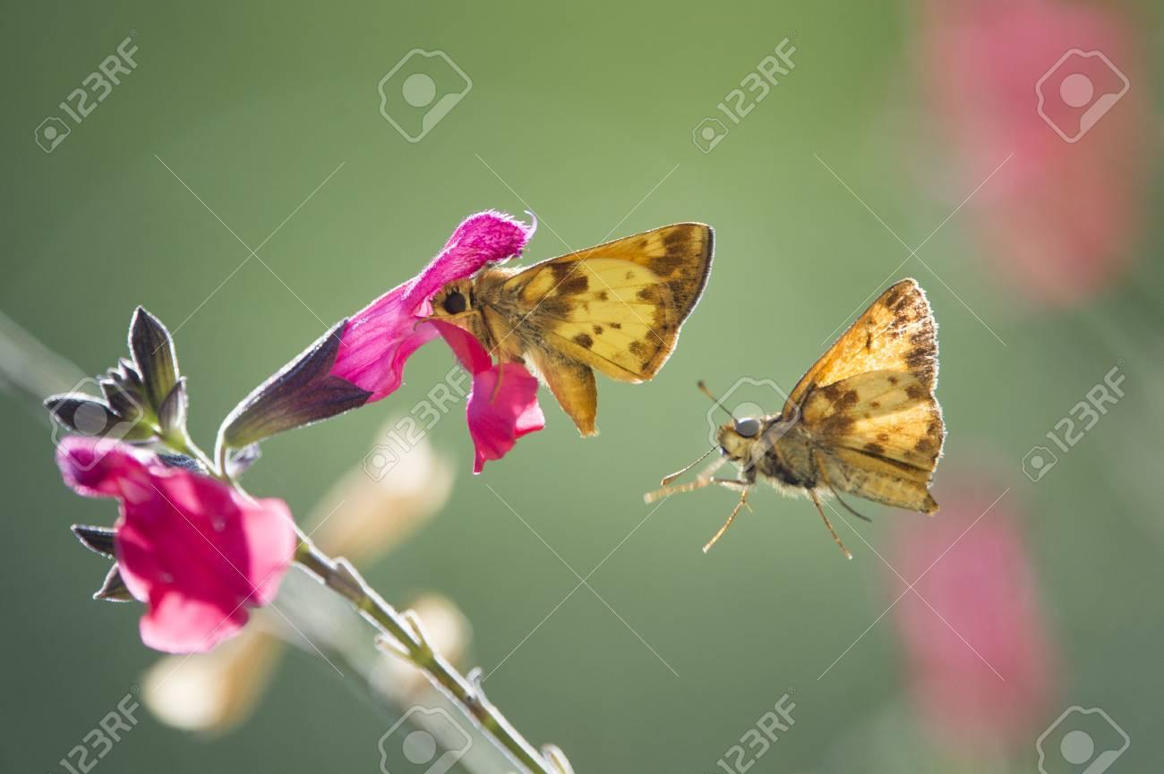 Una Pequeña Mariposa De Color Naranja Se Alimenta De Una Flor Rosa ...