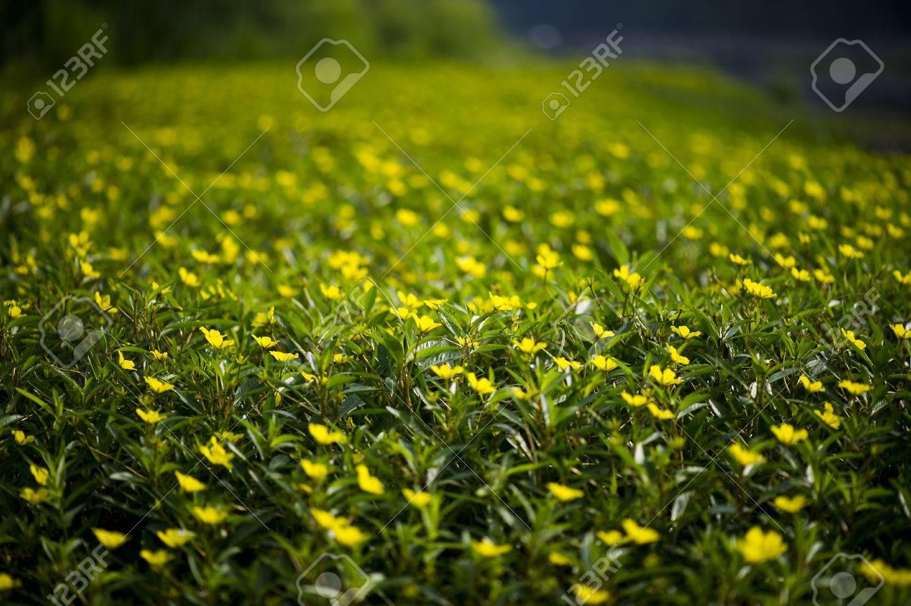 Un Gran Campo De Pequenas Flores Silvestres Amarillas Con Solo Las