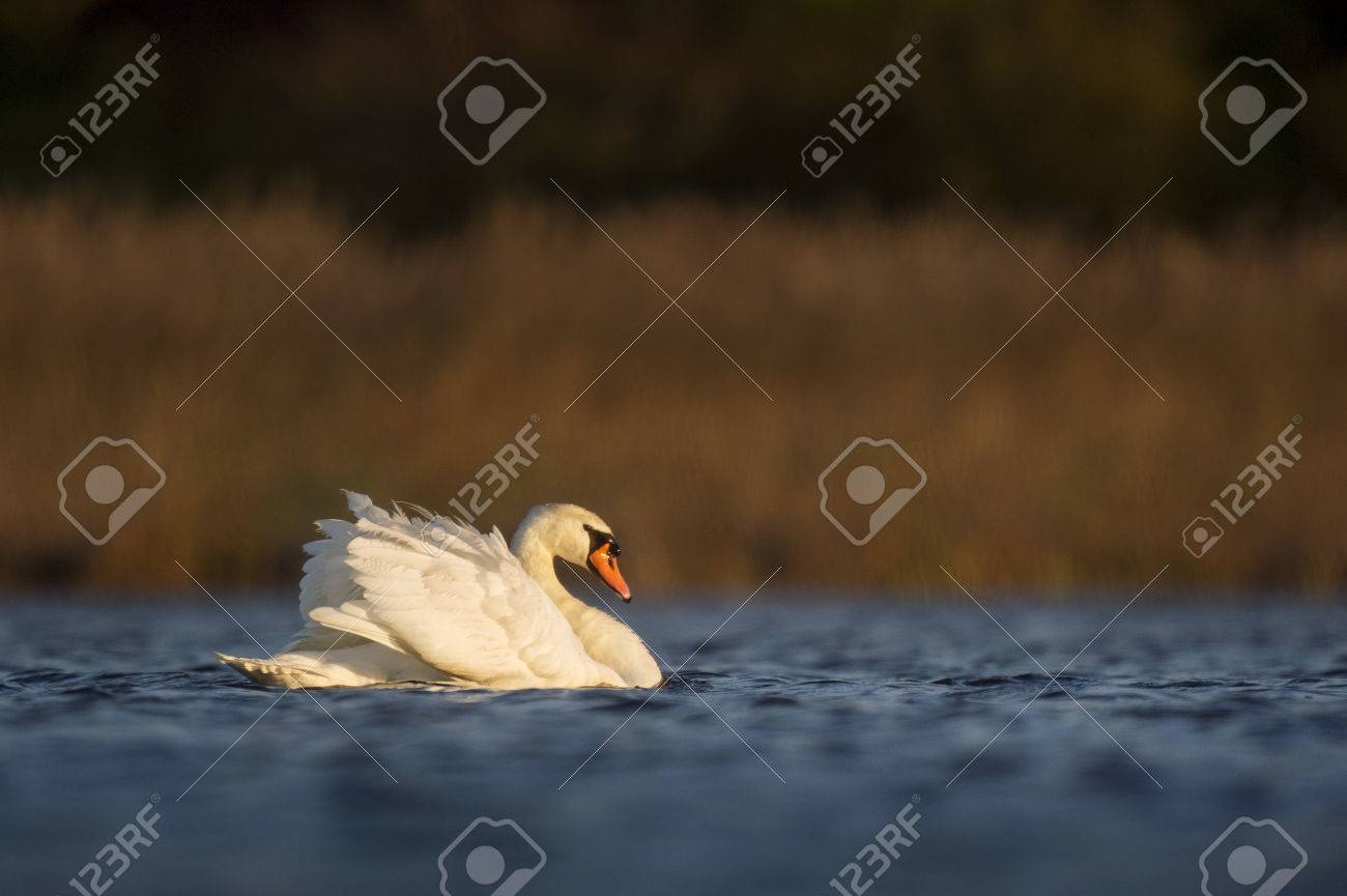 A Mute Swan Swims Along As The First Rays Of Sunshine Light Up ...