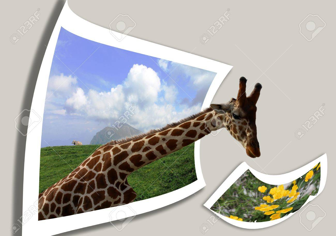 giraffe. collage Stock Photo - 17367058