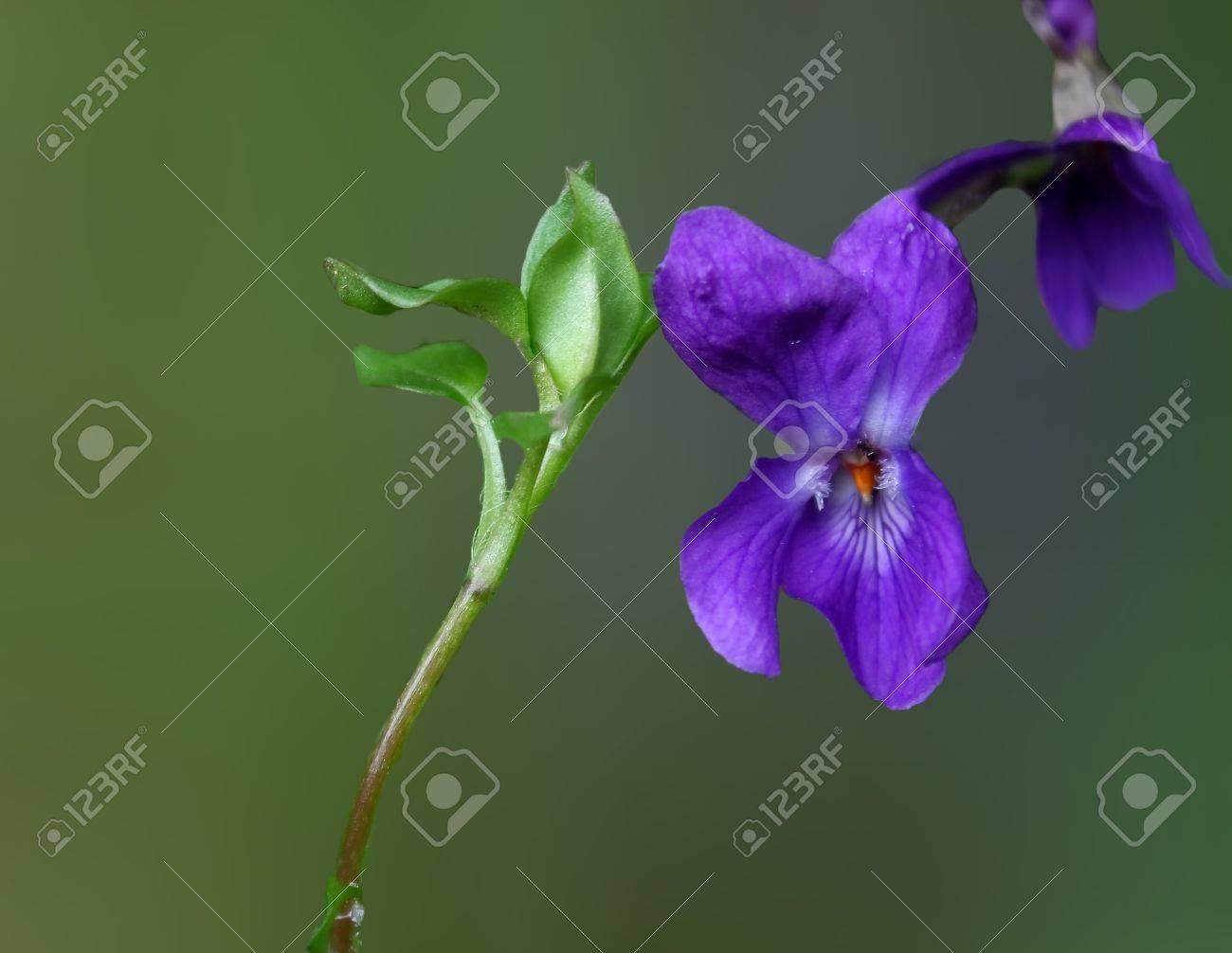violets Stock Photo - 18855996