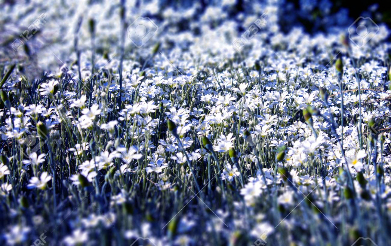Flowerbed With Small White Flowers Stock Photo Picture And Royalty