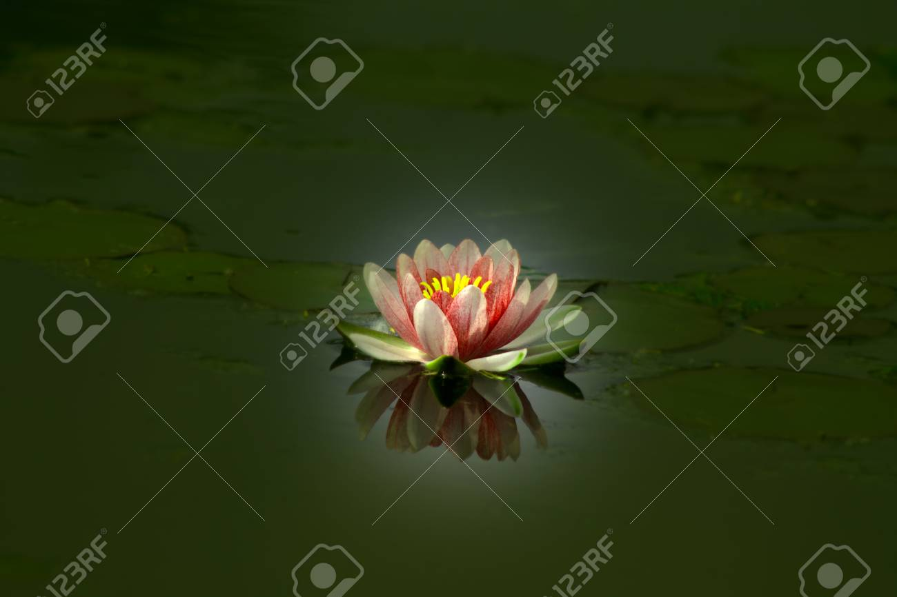 Beautiful Lotus Flower In A Pond Reflected In Water Stock Photo