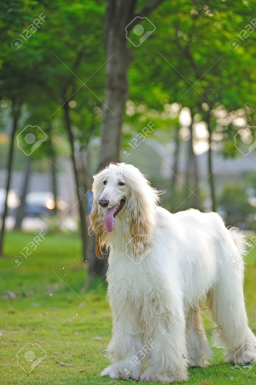 White afghan hound dog standing on the lawn Stock Photo - 9090746