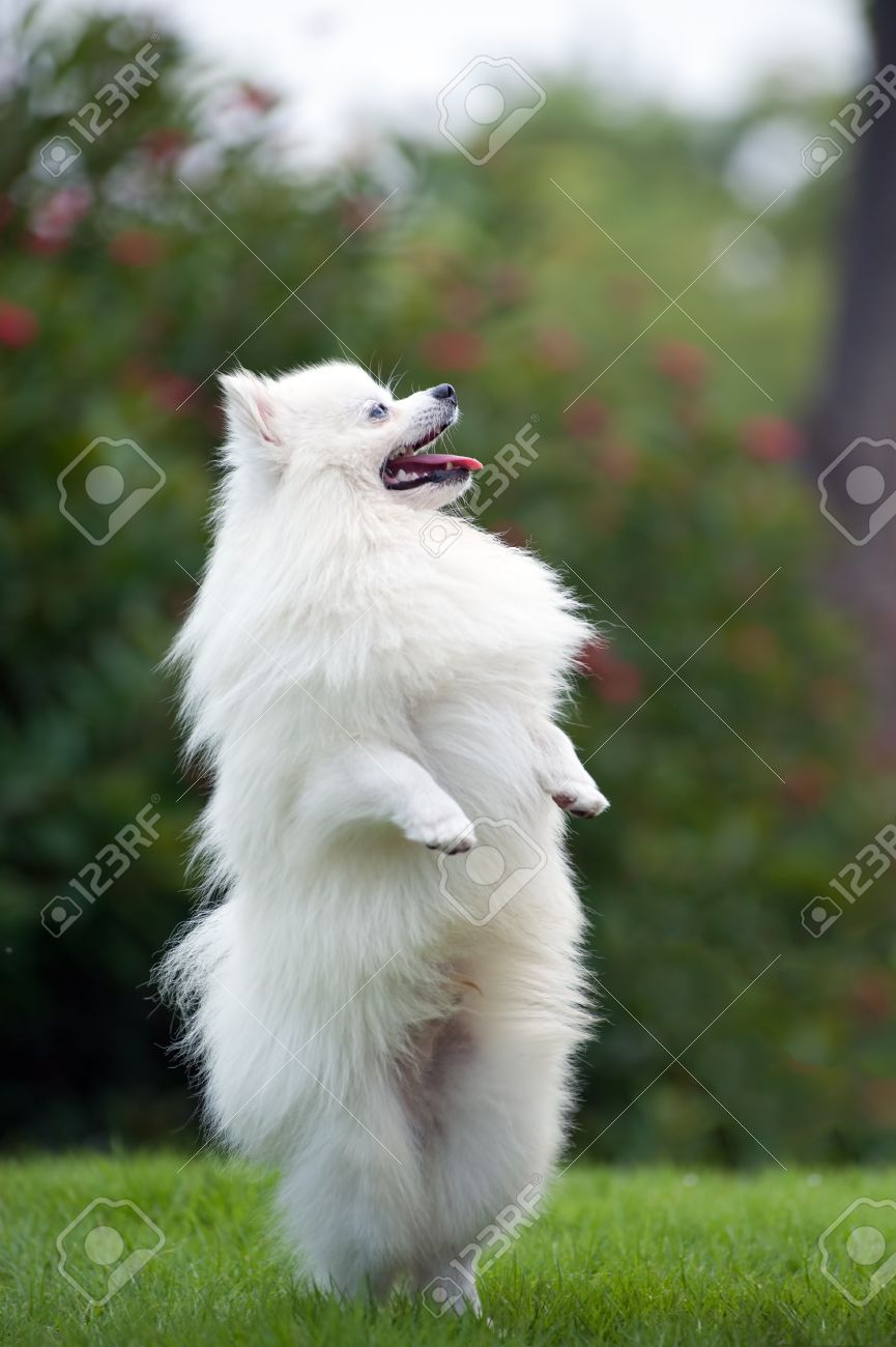 White Pomeranian Dog Standing On Hind Legs Stock Photo Picture And