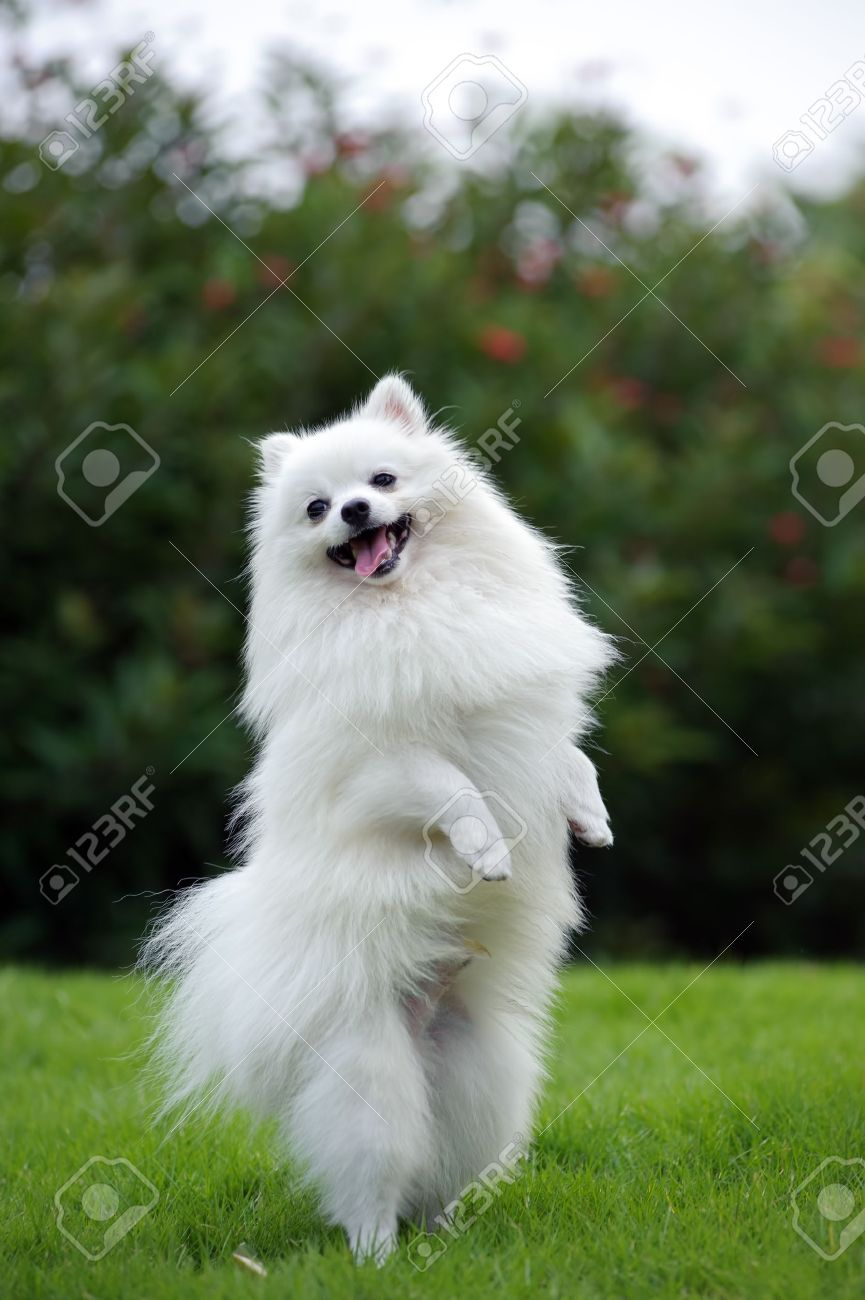 White pomeranian dog standing on hind legs stock photo picture and stock photo white pomeranian dog standing on hind legs thecheapjerseys Image collections