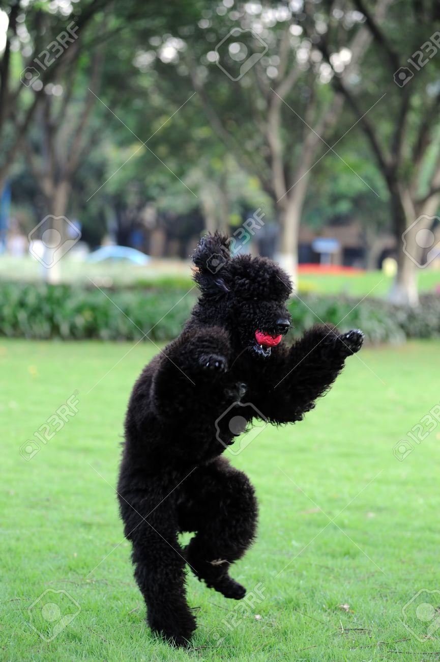 Caniche noir chien tenant une boule dans la bouche et debout sur les pattes  postérieures