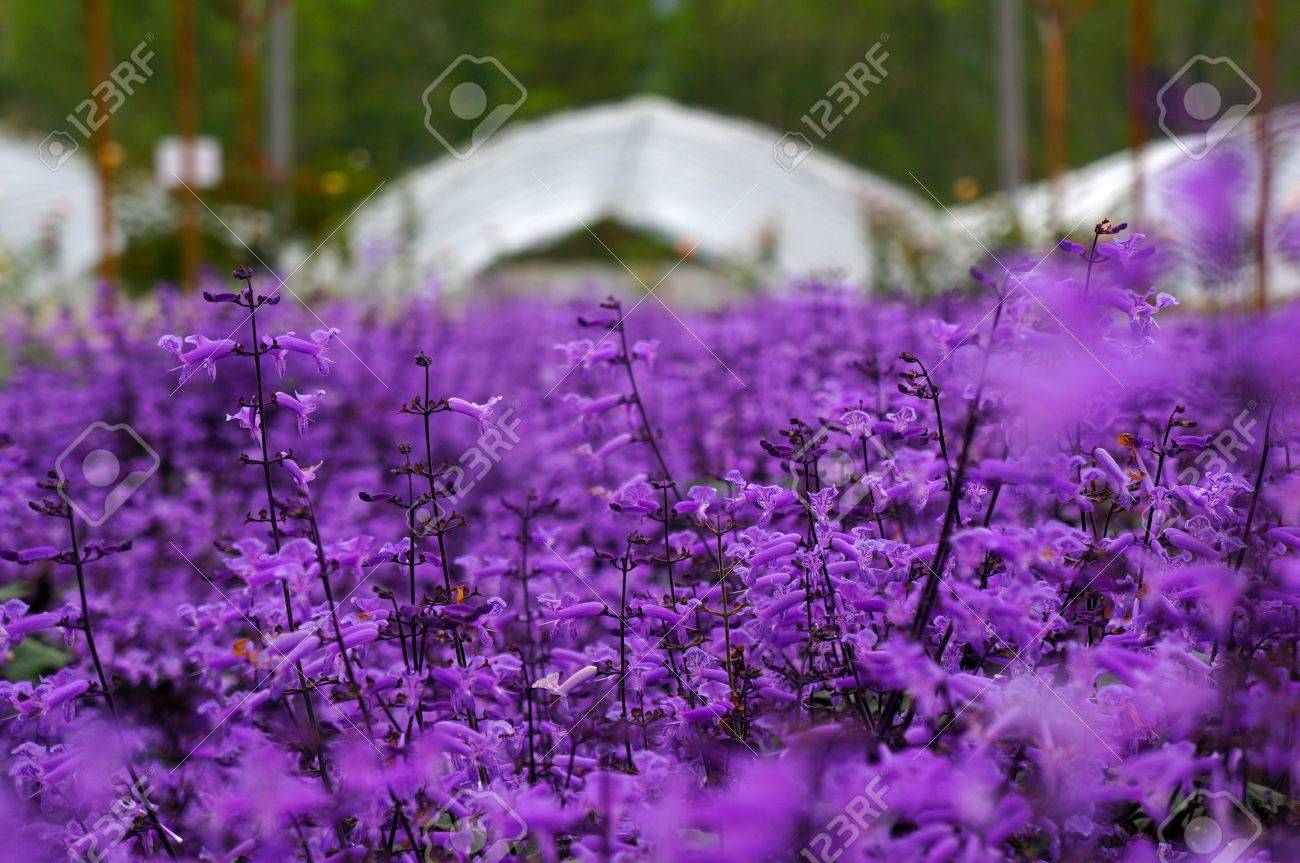 Pleasant Lavender Garden At Genting Highlands Malaysia Stock Photo Picture  With Gorgeous Lavender Garden At Genting Highlands Malaysia Stock Photo   With Archaic House And Garden Shooting Powder Also Gardeners World Walmley In Addition Rooms And Gardens And Phillimore Garden Centre As Well As Dyffryn Gardens National Trust Additionally Baytree Garden Centre From Rfcom With   Gorgeous Lavender Garden At Genting Highlands Malaysia Stock Photo Picture  With Archaic Lavender Garden At Genting Highlands Malaysia Stock Photo   And Pleasant House And Garden Shooting Powder Also Gardeners World Walmley In Addition Rooms And Gardens From Rfcom