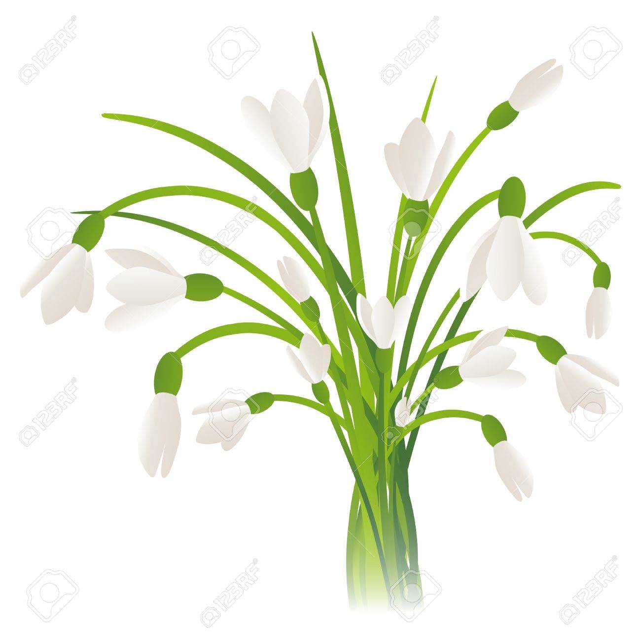 Illustration of the Snowdrop Flowers Over White Background Stock Vector - 17499496