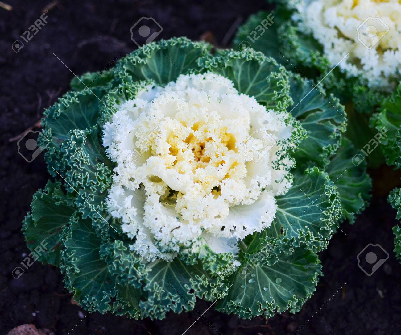 White And Green Ornamental Kale Cabbage In Garden Stock Photo