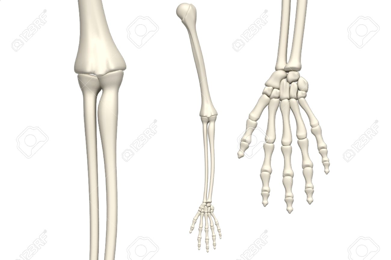 Skeleton Arm On White Background Stock Photo Picture And Royalty