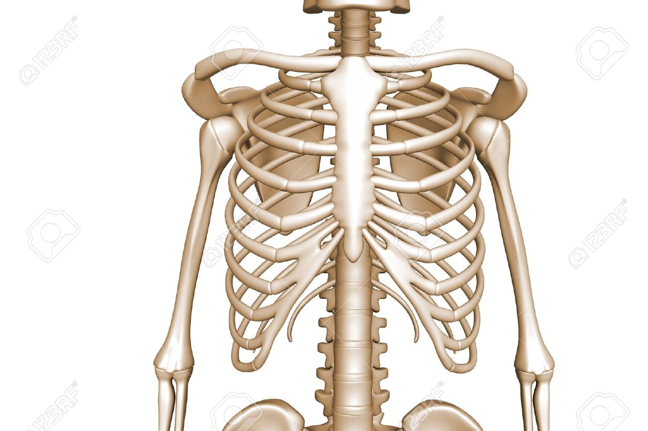 human body rib cage stock photo, picture and royalty free image, Skeleton