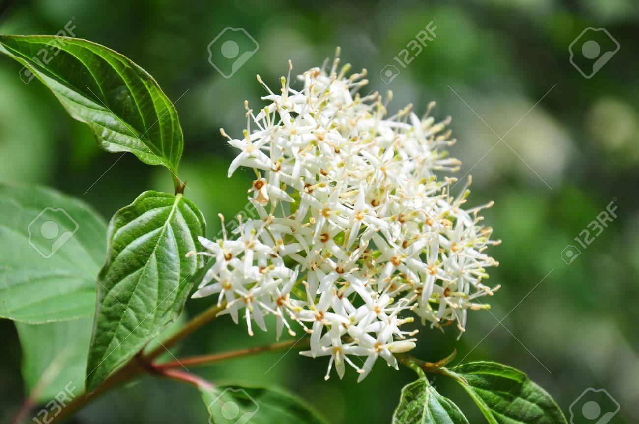 Common dogwood (Cornus sanguinea) - 14037568