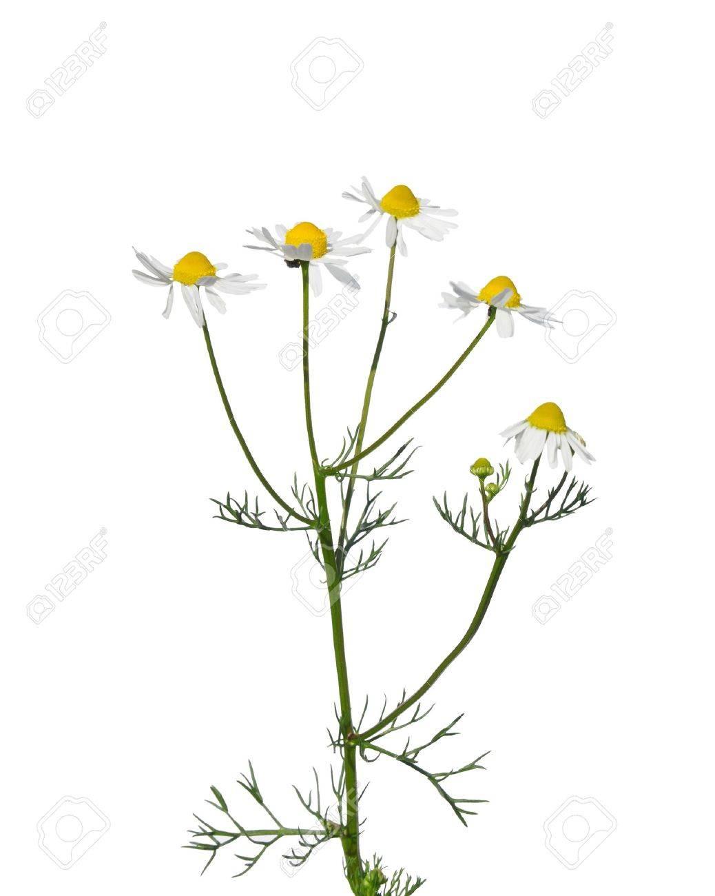 German chamomile (Matricaria chamomilla) - 15311033