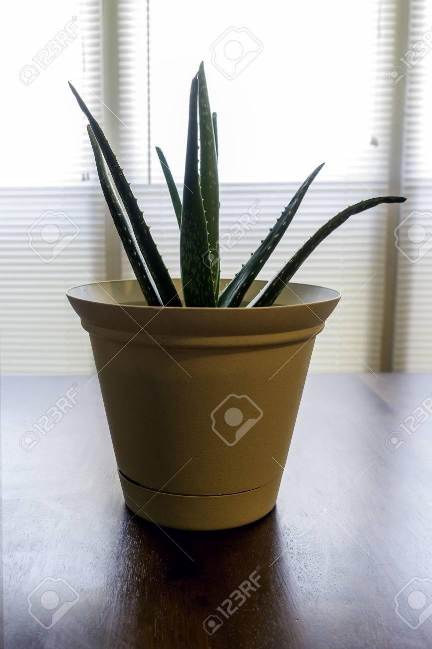 Aloe Vera Pflanze Auf Dem Kuchentisch Aus Dem Sonnenlicht Durch Das Fenster Von Hinten Beleuchtet Lizenzfreie Fotos Bilder Und Stock Fotografie Image 60458073