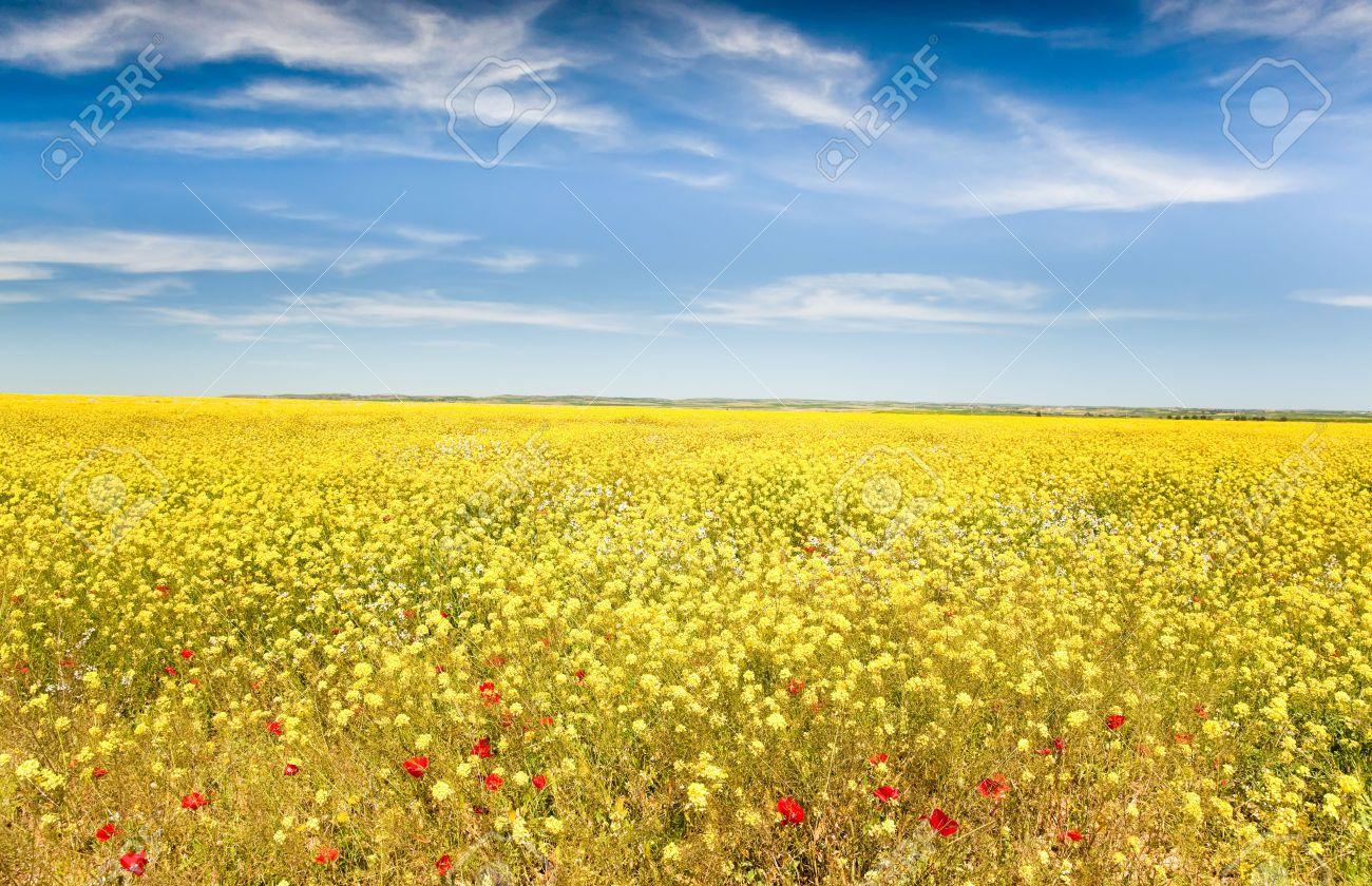 Landscape spring season field full of yellow flowers and red landscape spring season field full of yellow flowers and red poppies maroc mightylinksfo