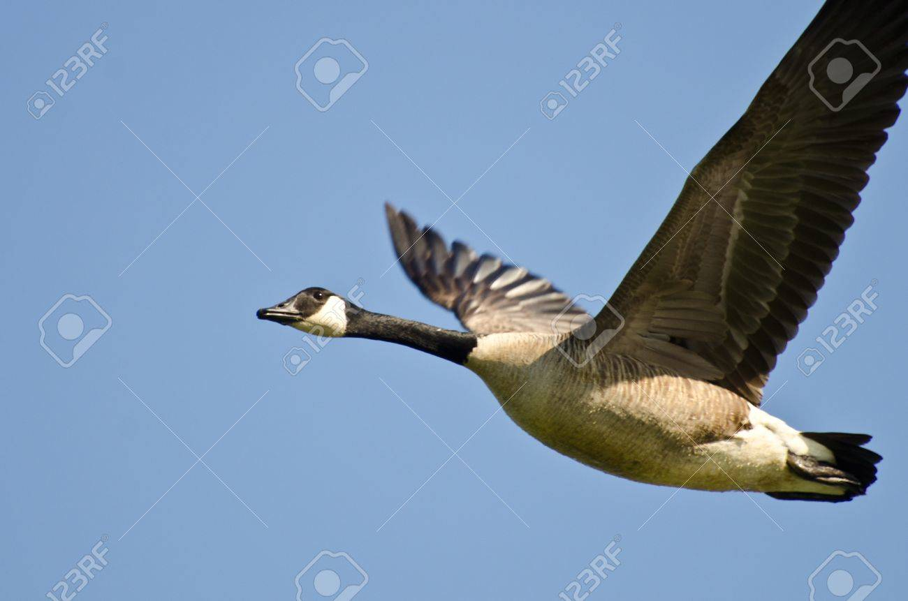 picture of canada goose flying