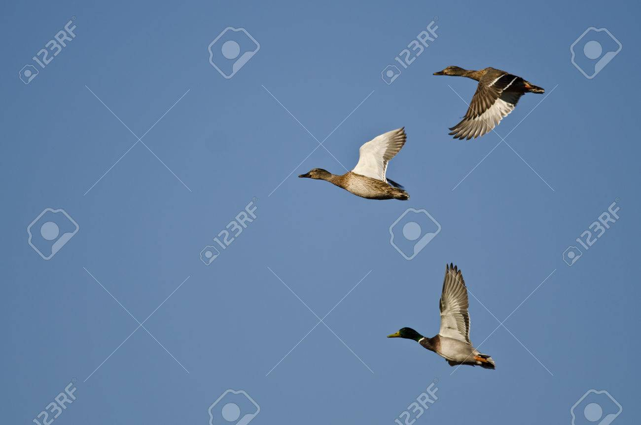 Flock Of Mallard Ducks Flying In A Blue Sky Stock Photo Picture And