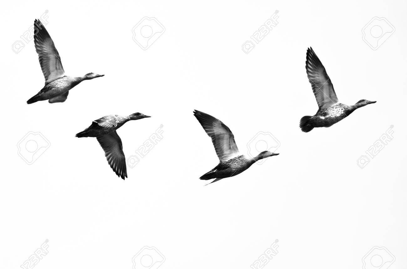 american black duck stock photos u0026 pictures royalty free american