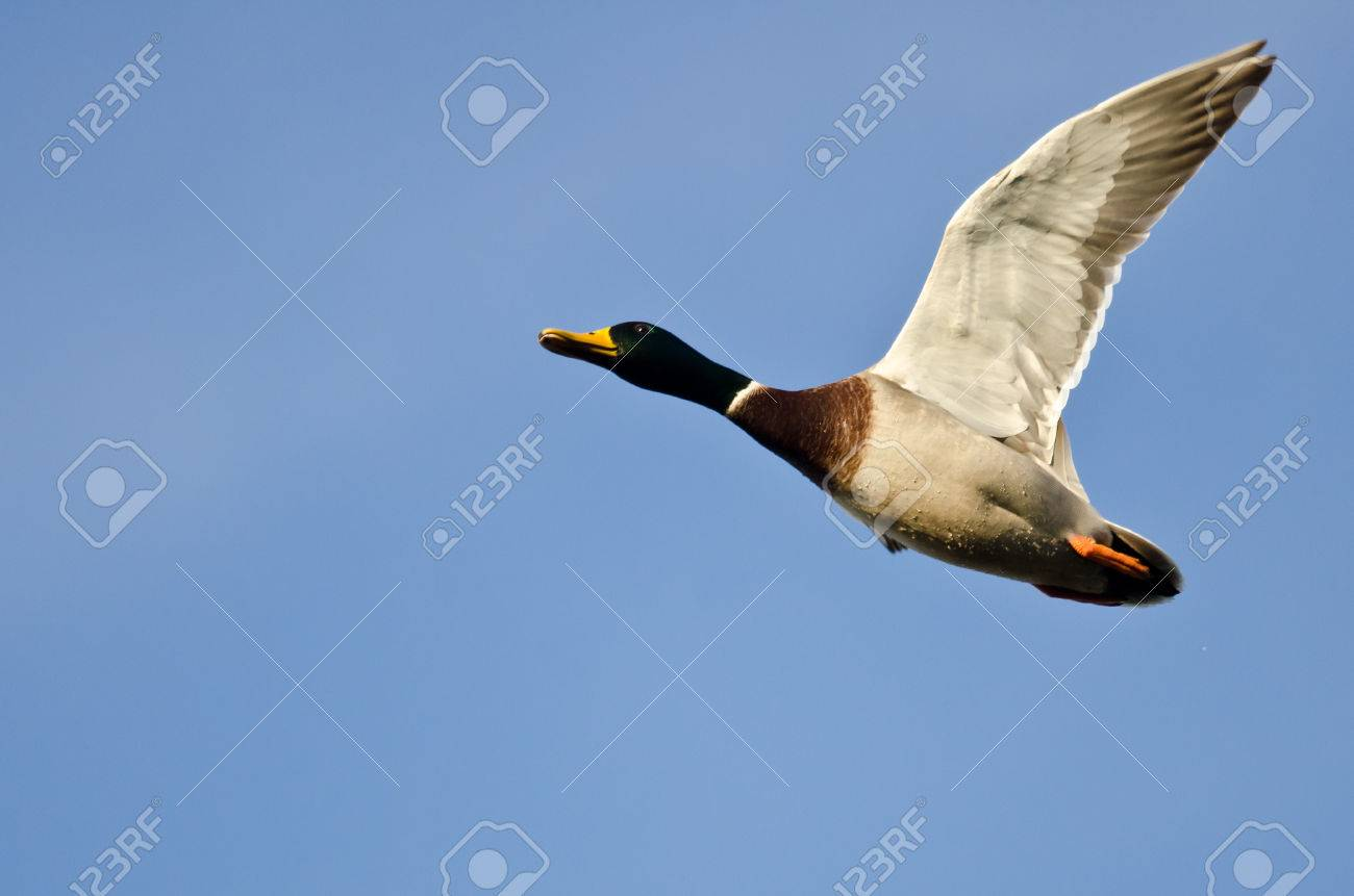 Mallard Duck Flying In A Blue Sky Stock Photo Picture And Royalty