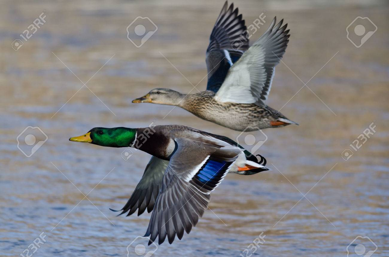 Pair Of Mallard Ducks Flying Low Over The River Stock Photo Picture