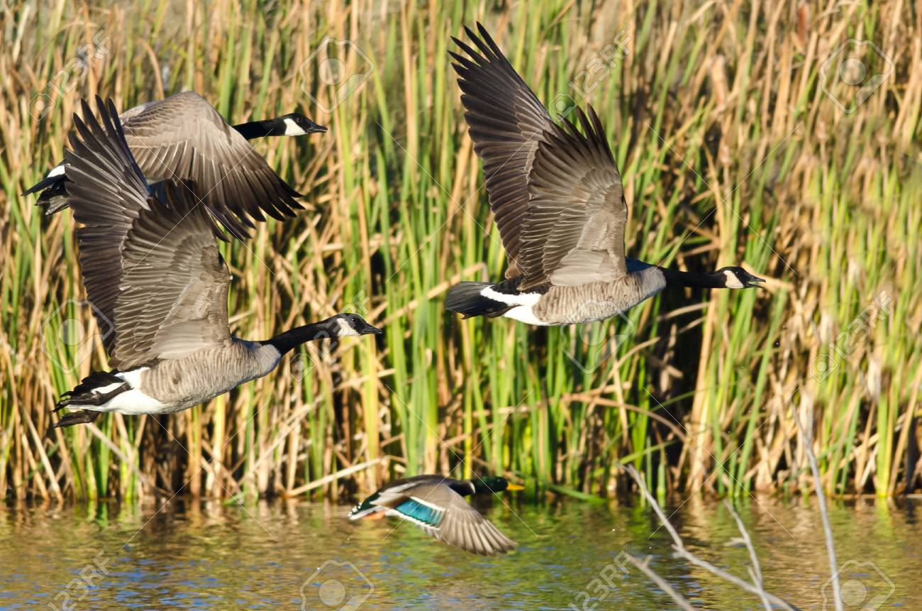 Three Canada Geese And Mallard Duck Flying Low Over The Autumn