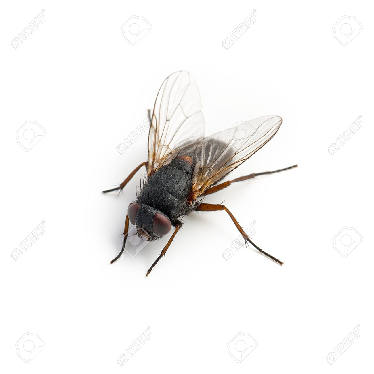 Black Housefly On White Background Stock Photo, Picture And Royalty ...
