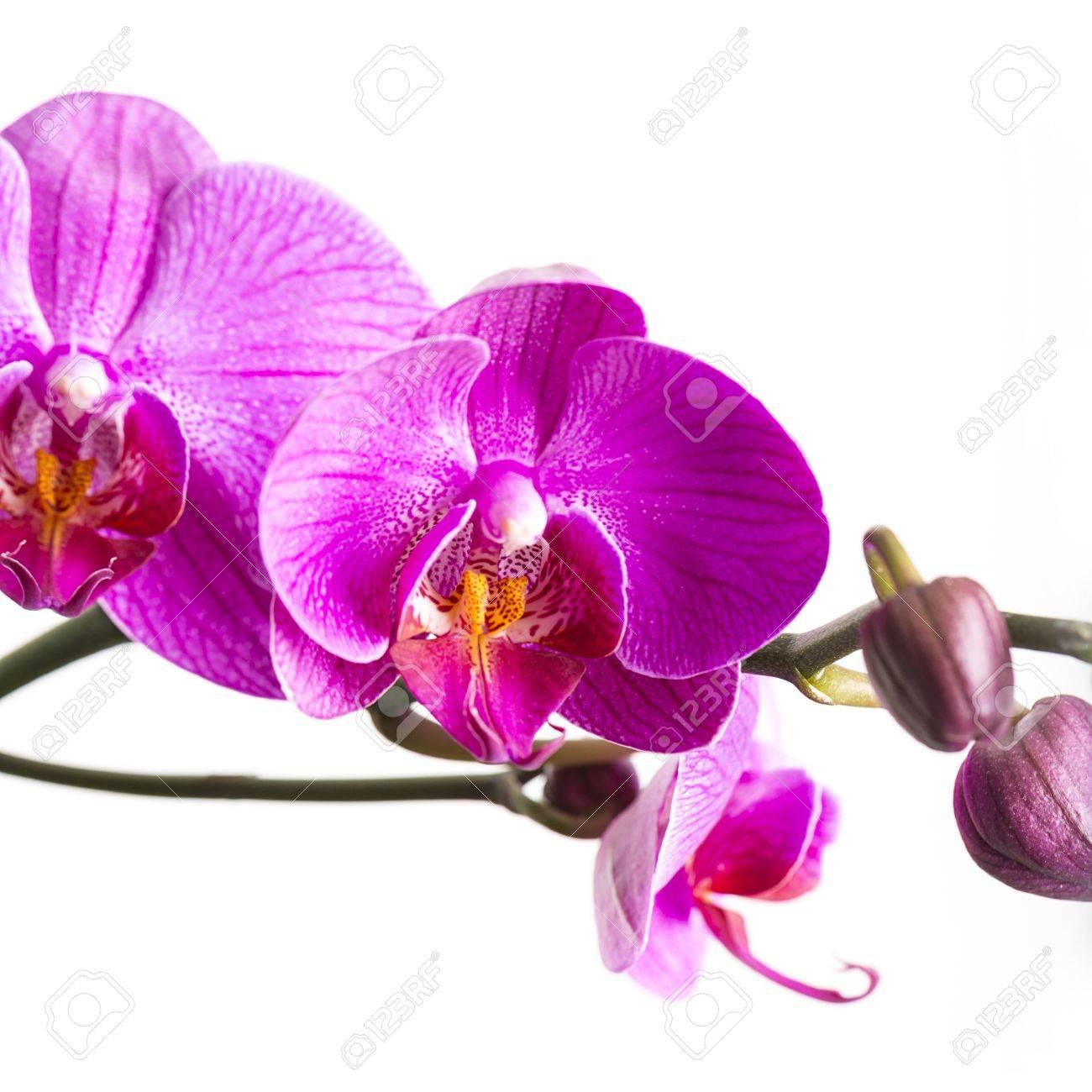 Rosa Weiße Orchidee Blume, Flora, Knospen Zimmer Blumenschmuck Blume  Valentinstag Geschenk Standard Bild