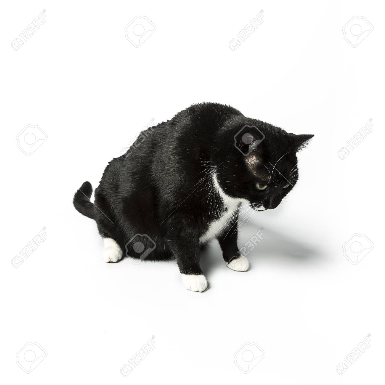 cat isolated black exempted domestic cat pet kitty kitty meow looking whisker faithful Stock Photo - 24971759