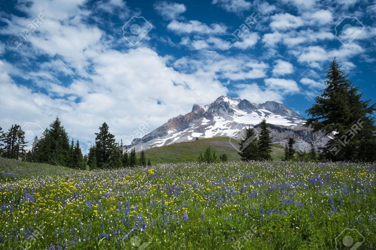 Summer wildflowers beneath the blue sky, Mt. hood, Oregon Cascades Stock Photo - 22760965
