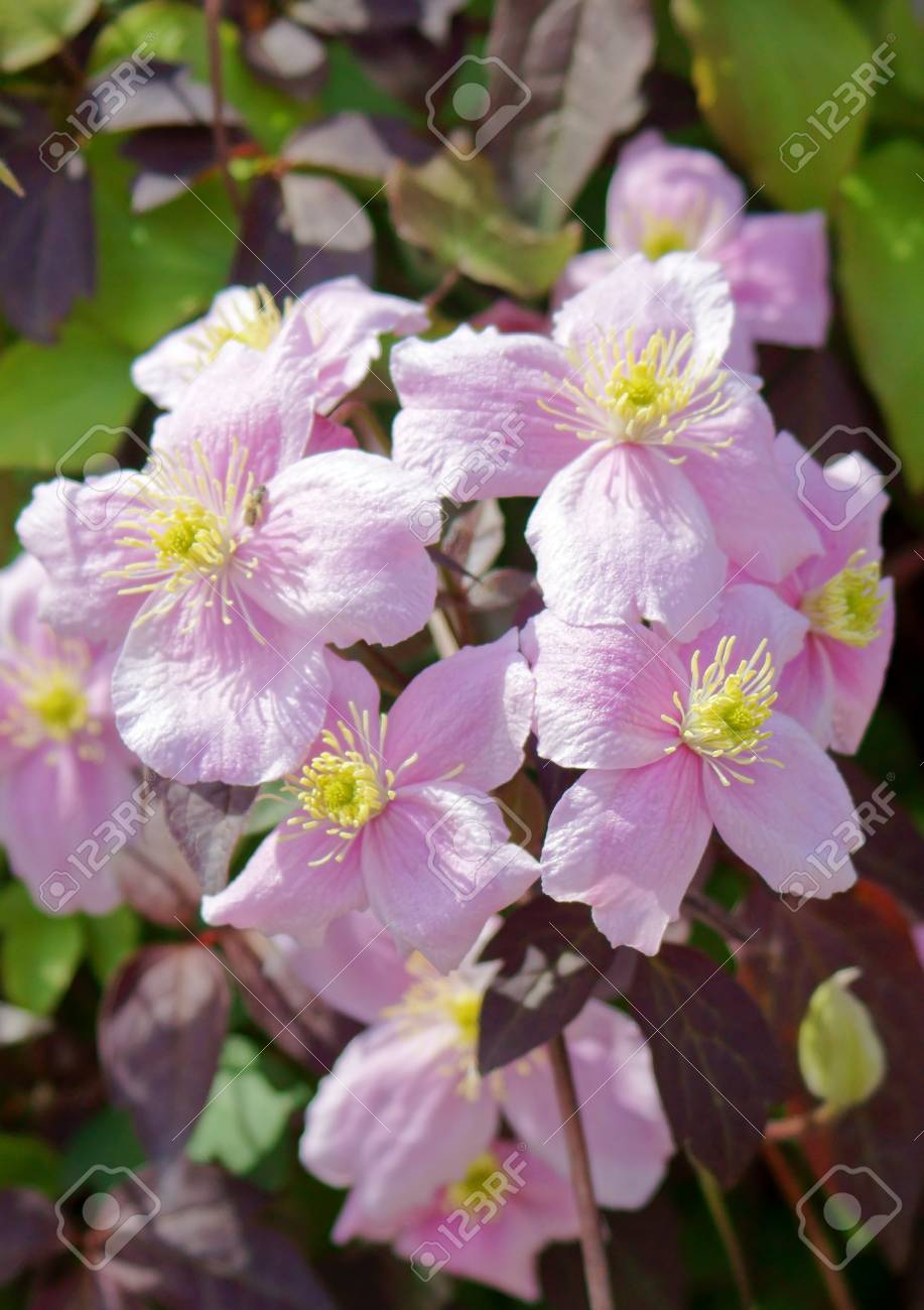 Big Pink Flowers In Garden Clematis Montana Stock Photo Picture