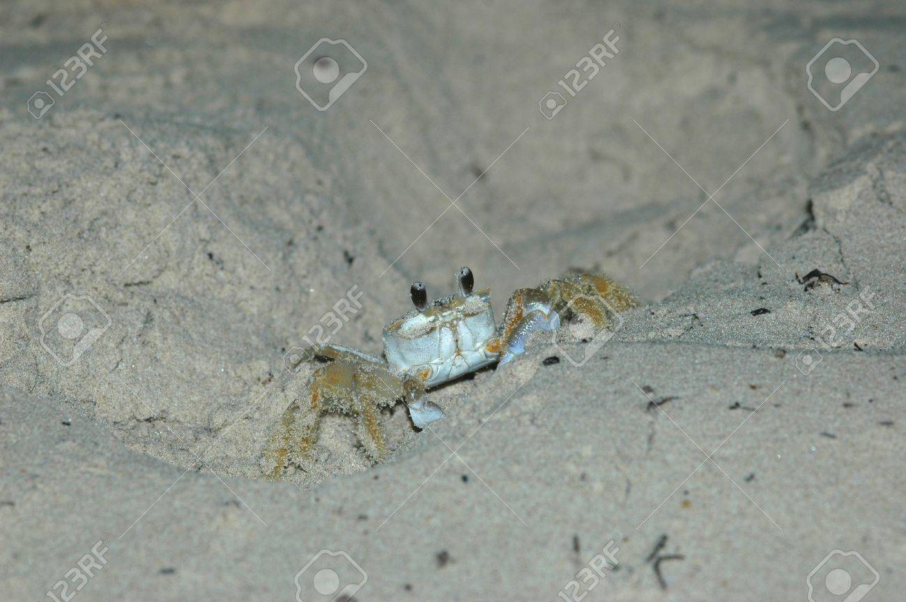 Ghost crabs at night