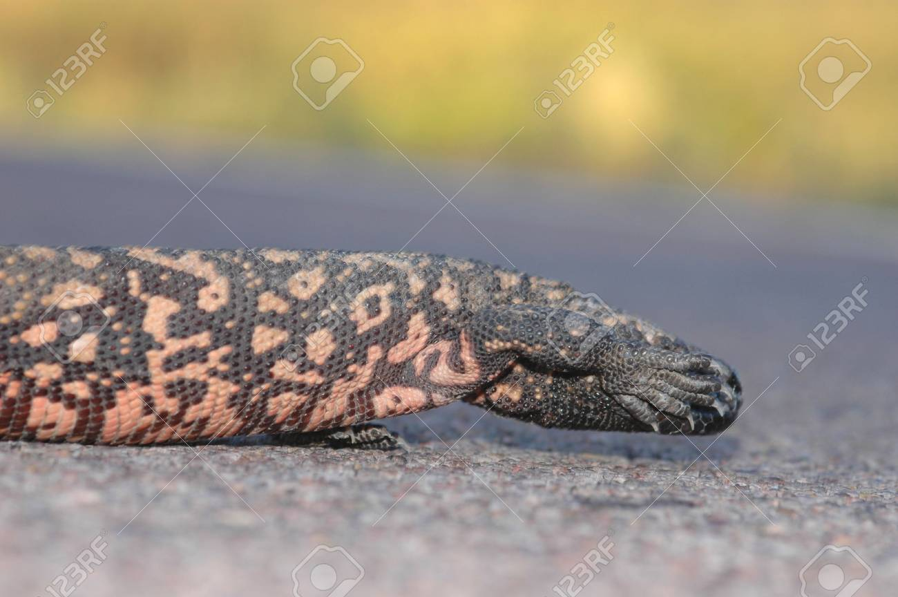 A gila monster appears to be hiding it's face on this Arizona highway. Stock Photo - 1290047
