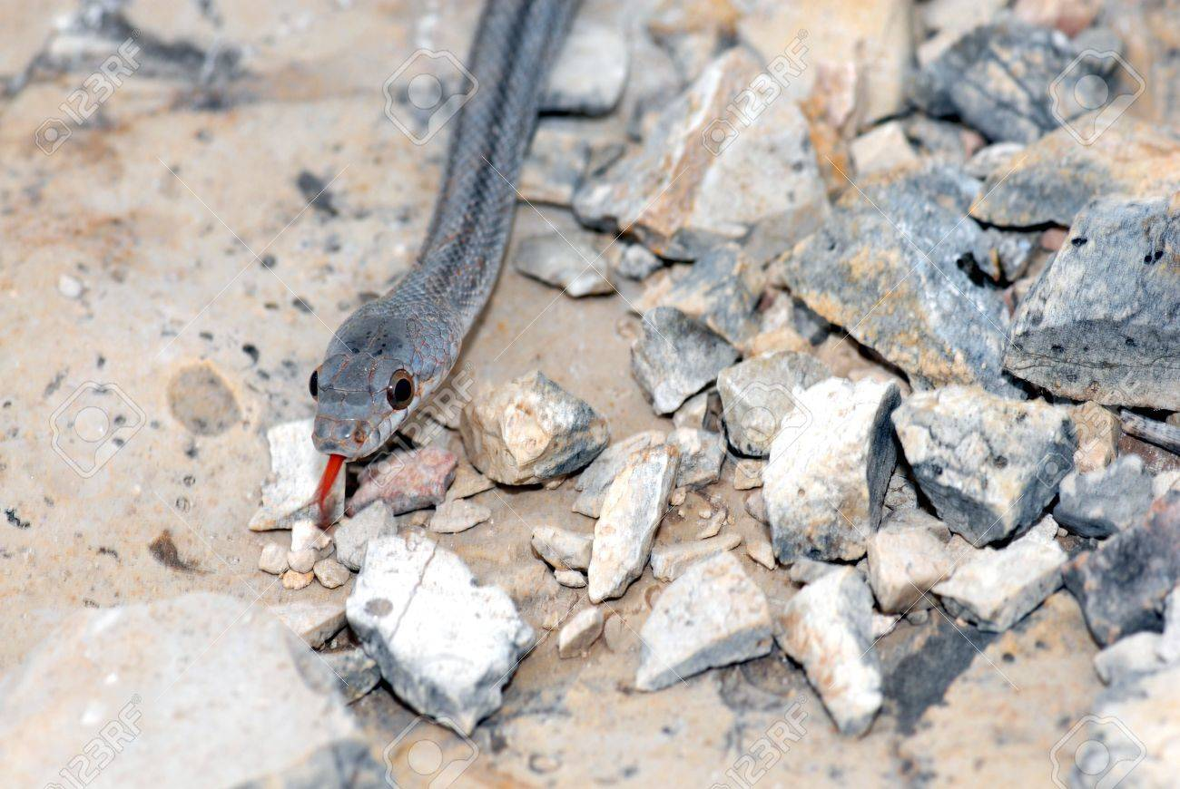 A bairds ratsnake found in the Trans Pecos region of western