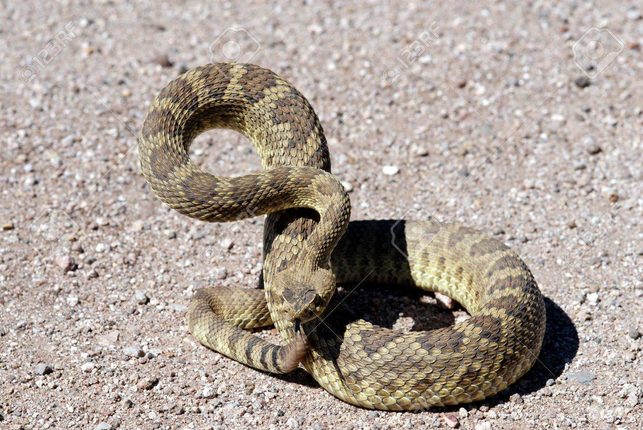 This mojave rattlesnake is showing the classic rattlesnake defense posture. Stock Photo - 2374465