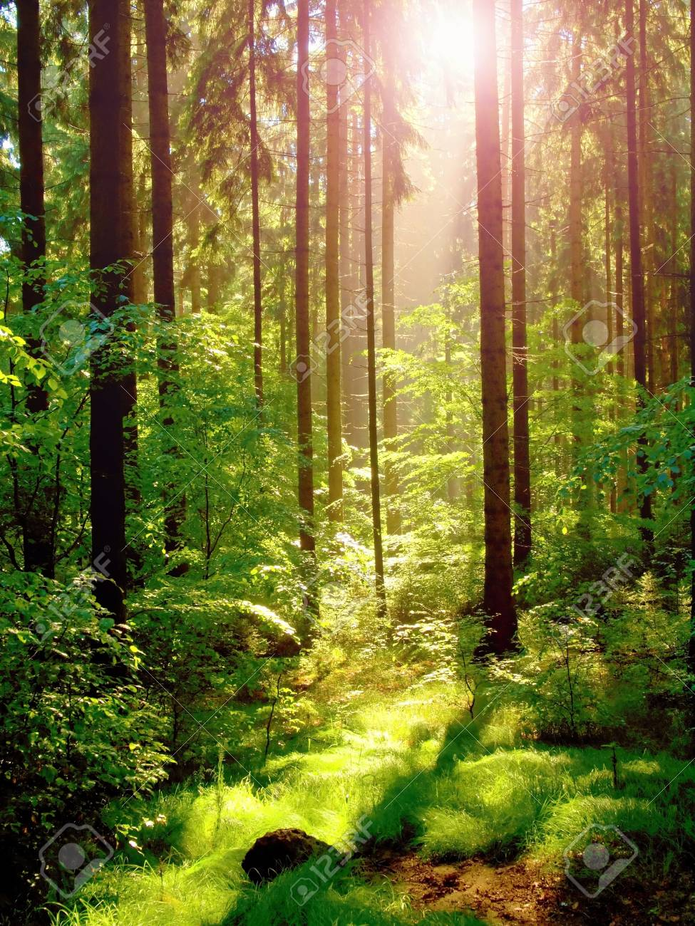 Spring sunset in green forest - 47642916