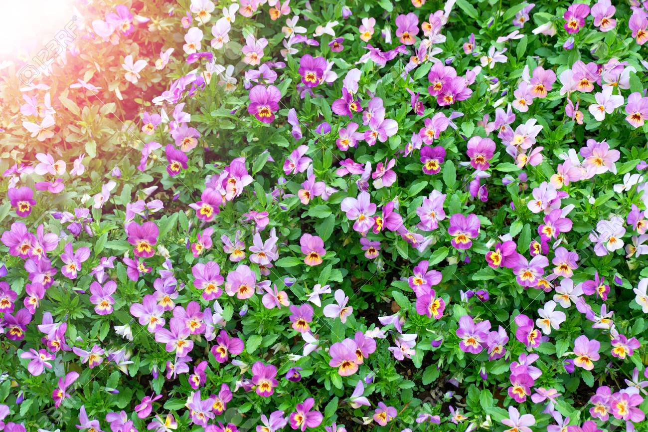 Pansy plants cultivated as garden flowers viola pansies in garden pansy plants cultivated as garden flowers viola pansies in garden beauty nature flower izmirmasajfo