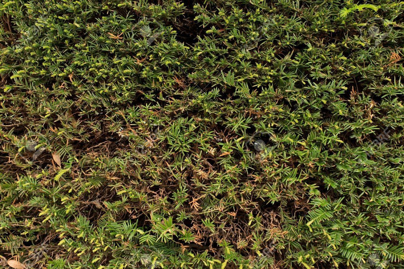 Branches vertes fraîches avec des brindilles sèches coupées comme textura.  Couper la clôture haie dans le jardin.