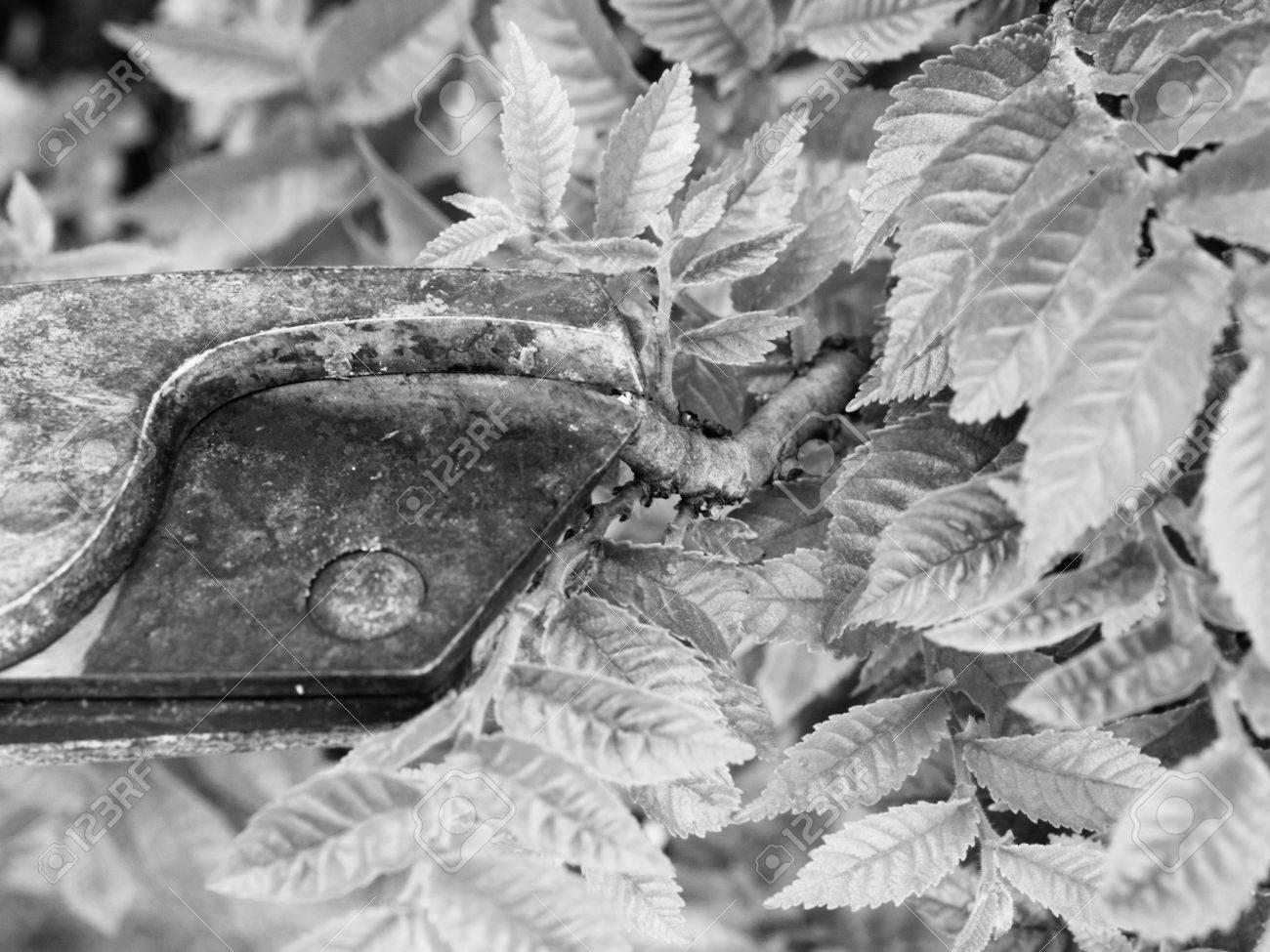 Kunstlerische Gartner Hand Trimmen Hainbuche Bonsai Baum Reinigung