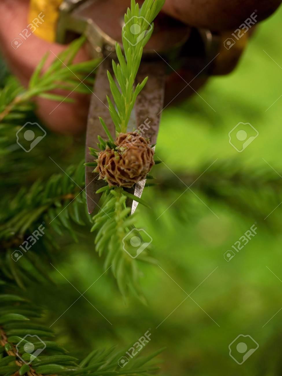Pinzas De Punta Jardinero Artística Poda De árboles Bonsai. Corte De ...