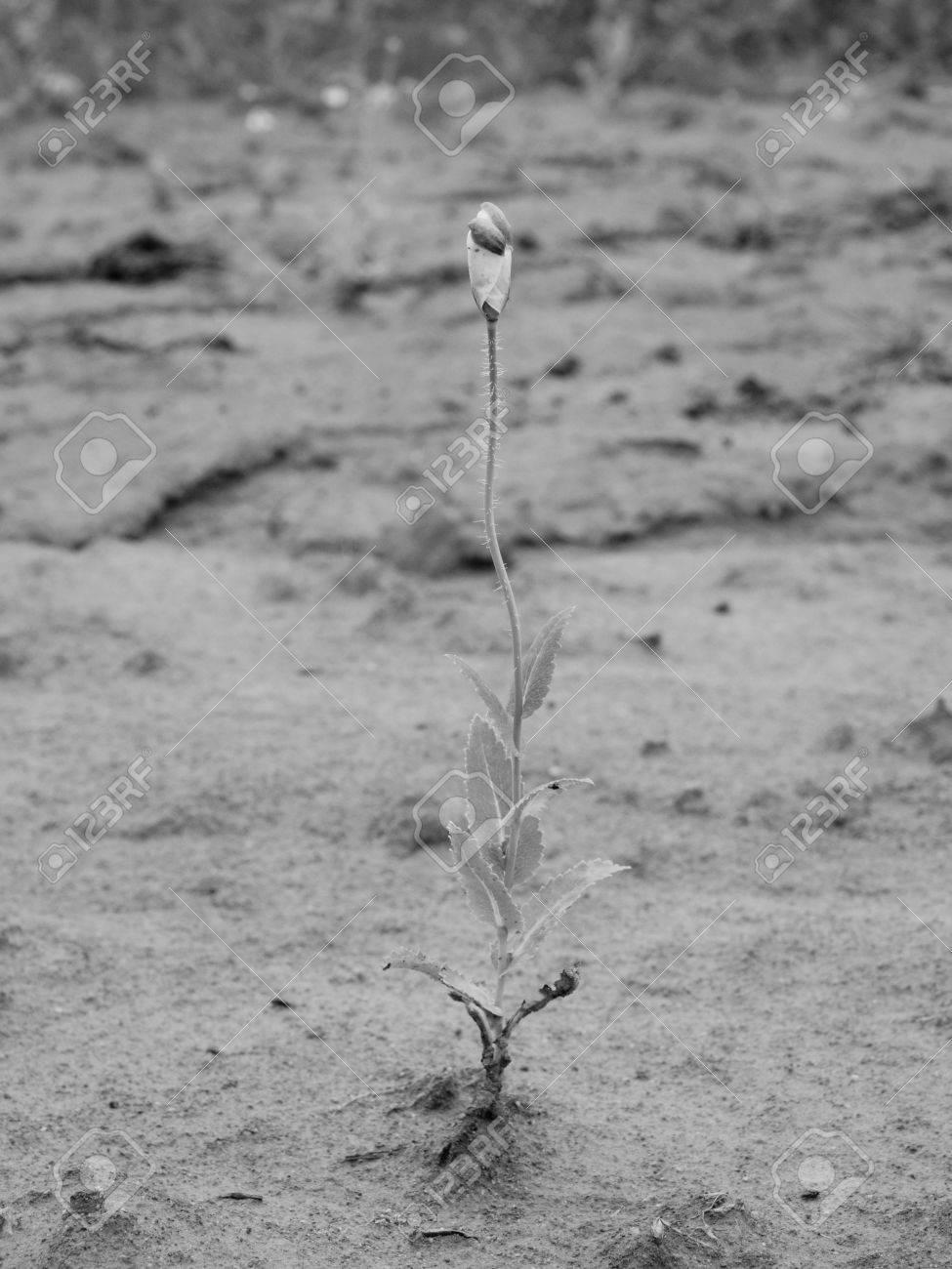 Perdu Petite Fleur De Pavot Fleur Dans Le Vent Champ Avec Vertes