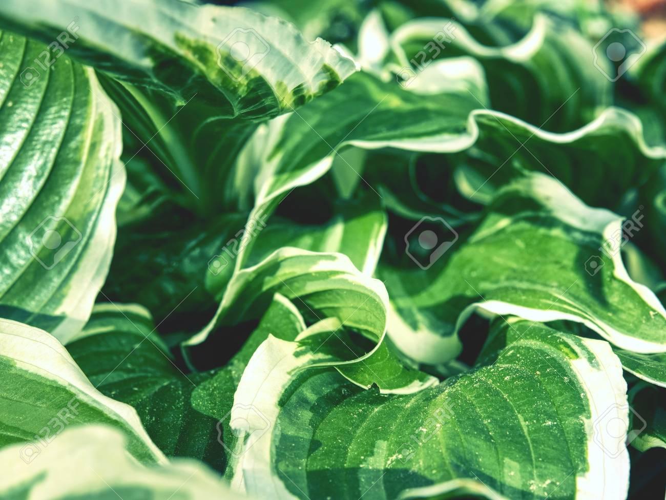 Green Variegated Hostas Hosta Plant Is Popular Perennial Flower